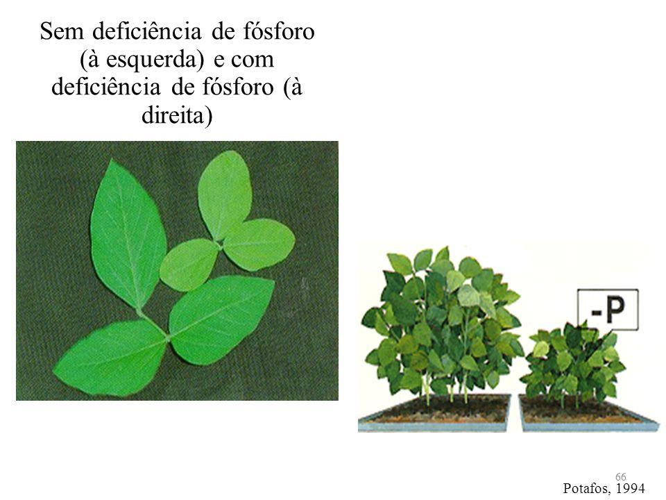 Sem deficiência de fósforo (à esquerda) e com deficiência de fósforo (à direita)