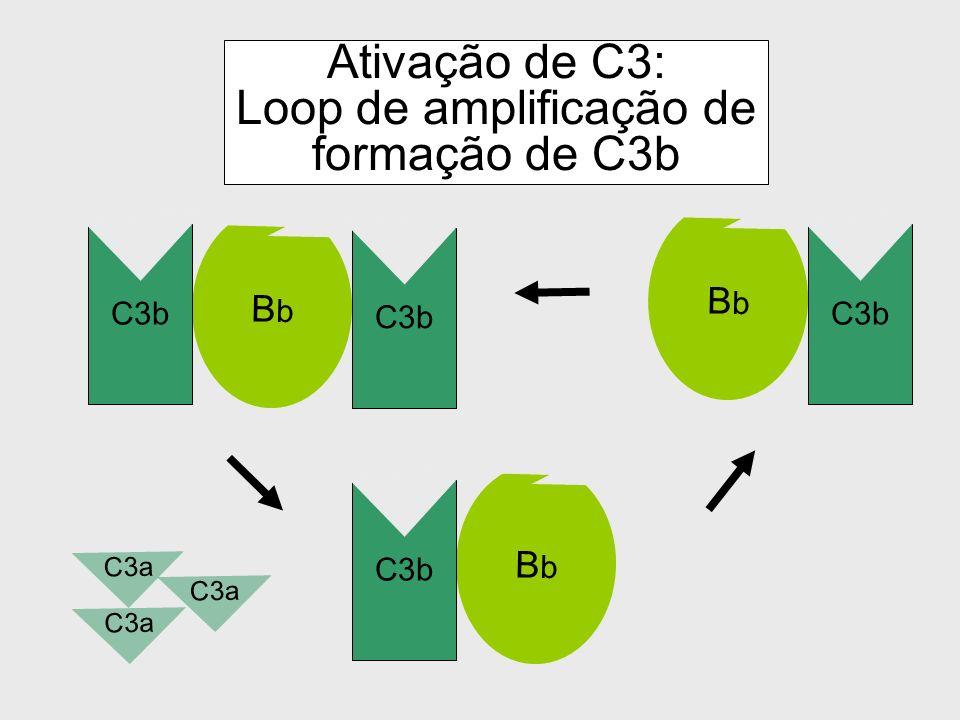 Ativação de C3: Loop de amplificação de formação de C3b
