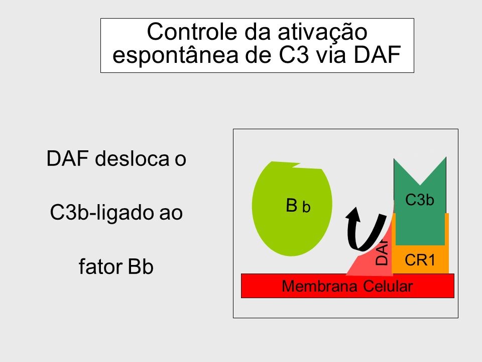 Controle da ativação espontânea de C3 via DAF