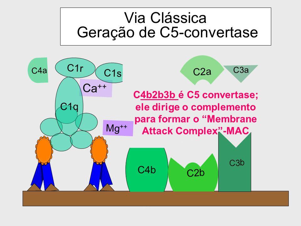 Via Clássica Geração de C5-convertase