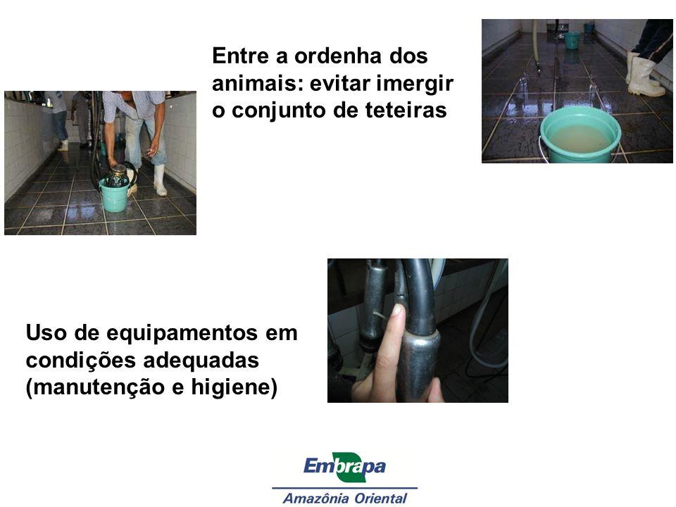 Entre a ordenha dos animais: evitar imergir o conjunto de teteiras