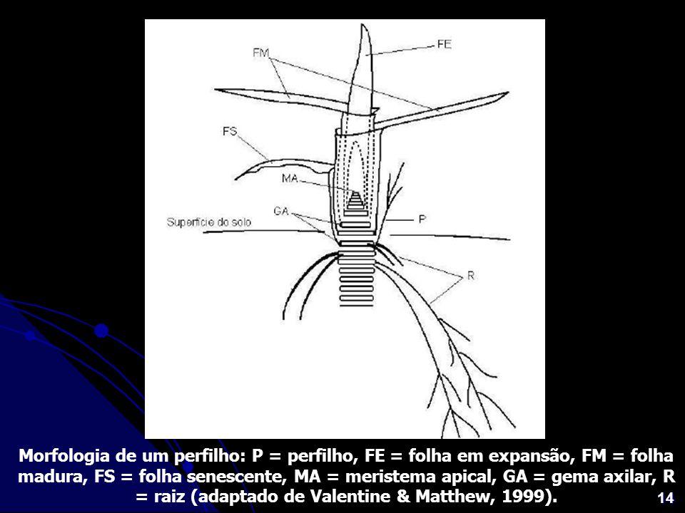 Morfologia de um perfilho: P = perfilho, FE = folha em expansão, FM = folha madura, FS = folha senescente, MA = meristema apical, GA = gema axilar, R = raiz (adaptado de Valentine & Matthew, 1999).