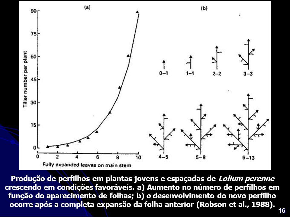 Produção de perfilhos em plantas jovens e espaçadas de Lolium perenne crescendo em condições favoráveis.