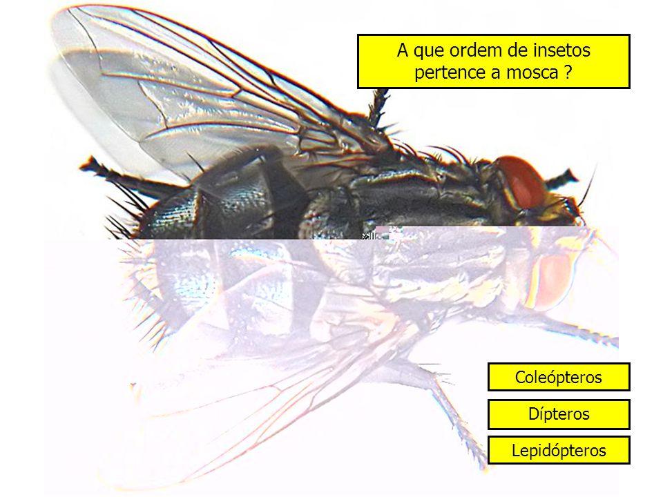 A que ordem de insetos pertence a mosca