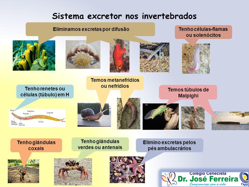 Sistema excretor nos invertebrados