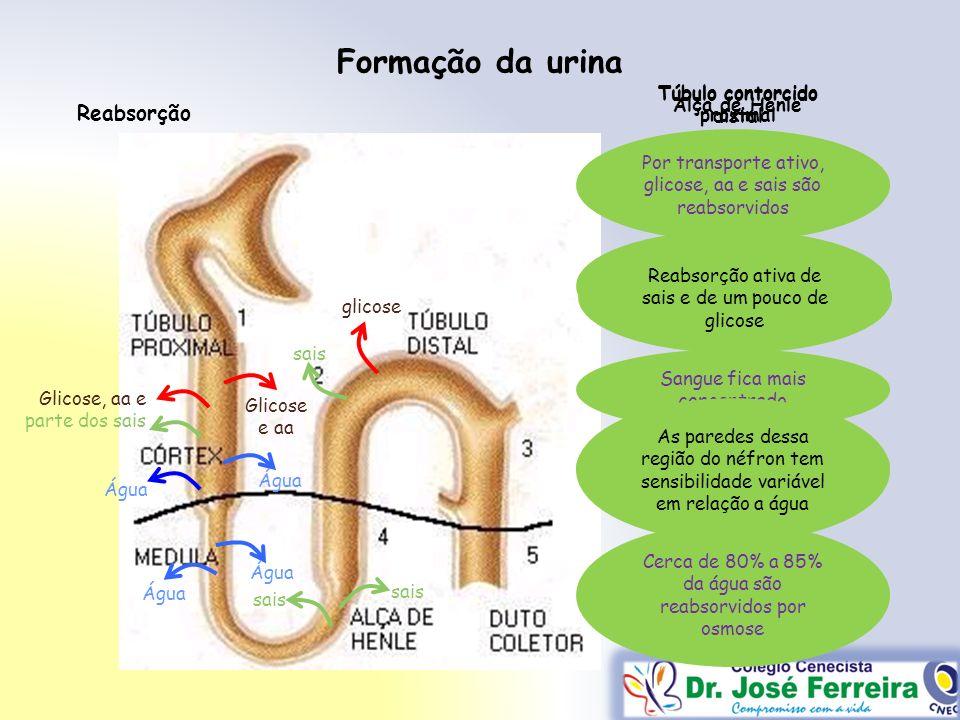 Túbulo contorcido proximal Túbulo contorcido distal
