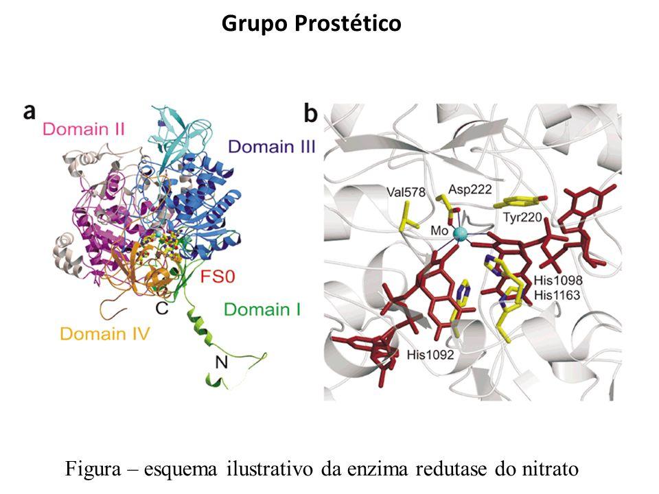 Grupo Prostético Figura – esquema ilustrativo da enzima redutase do nitrato