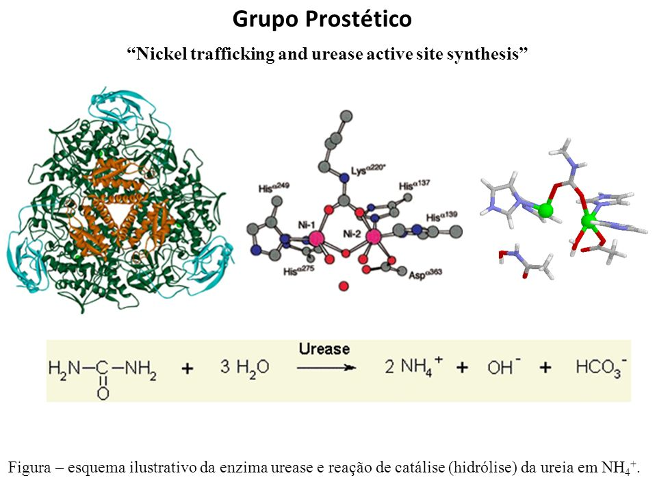 Grupo Prostético Nickel trafficking and urease active site synthesis