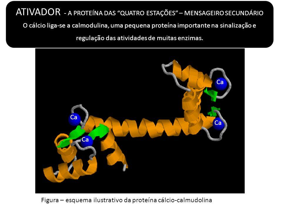 ATIVADOR - A PROTEÍNA DAS QUATRO ESTAÇÕES – MENSAGEIRO SECUNDÁRIO