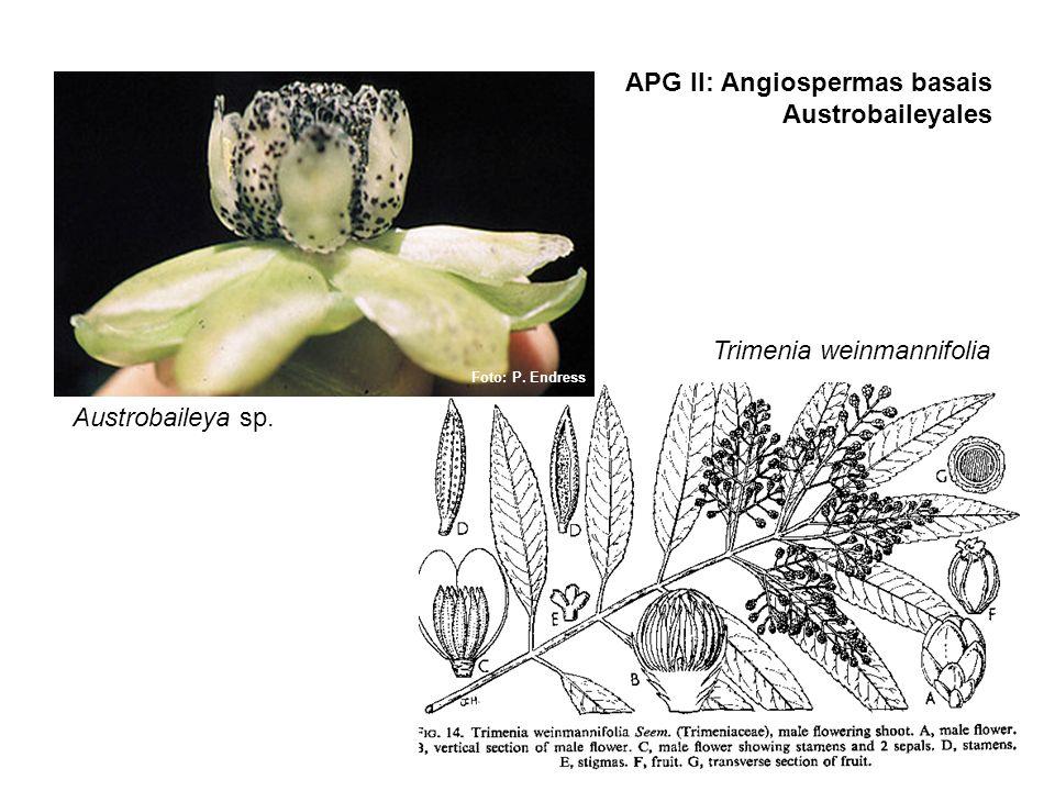 APG II: Angiospermas basais Austrobaileyales