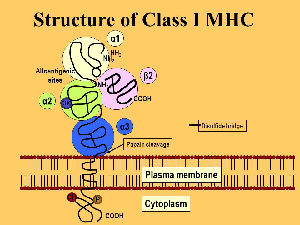 Structure of Class I MHC