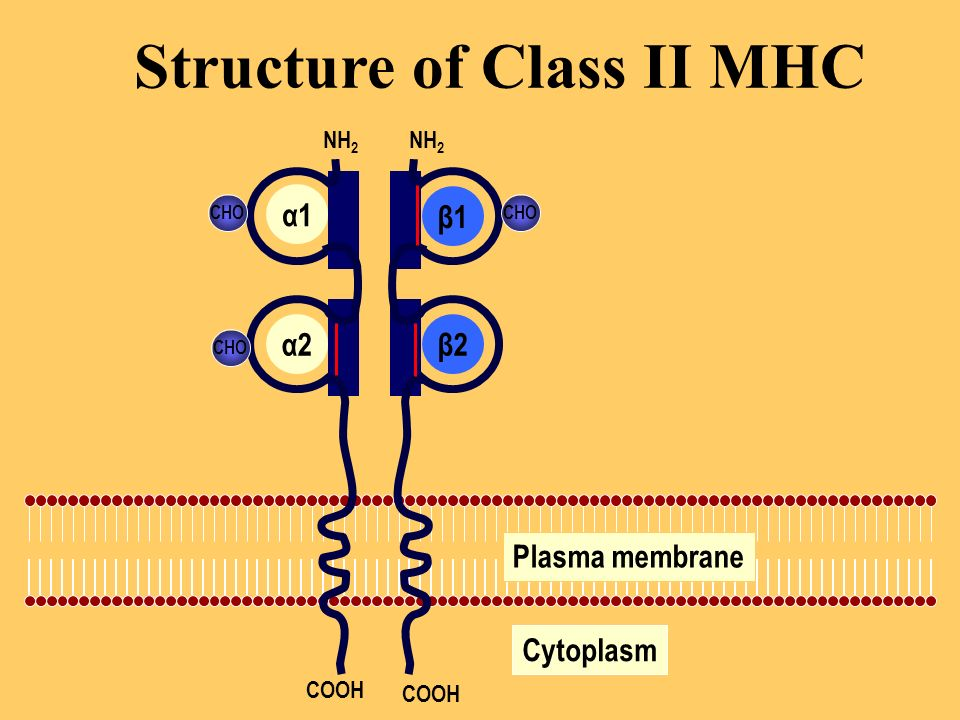 Structure of Class II MHC