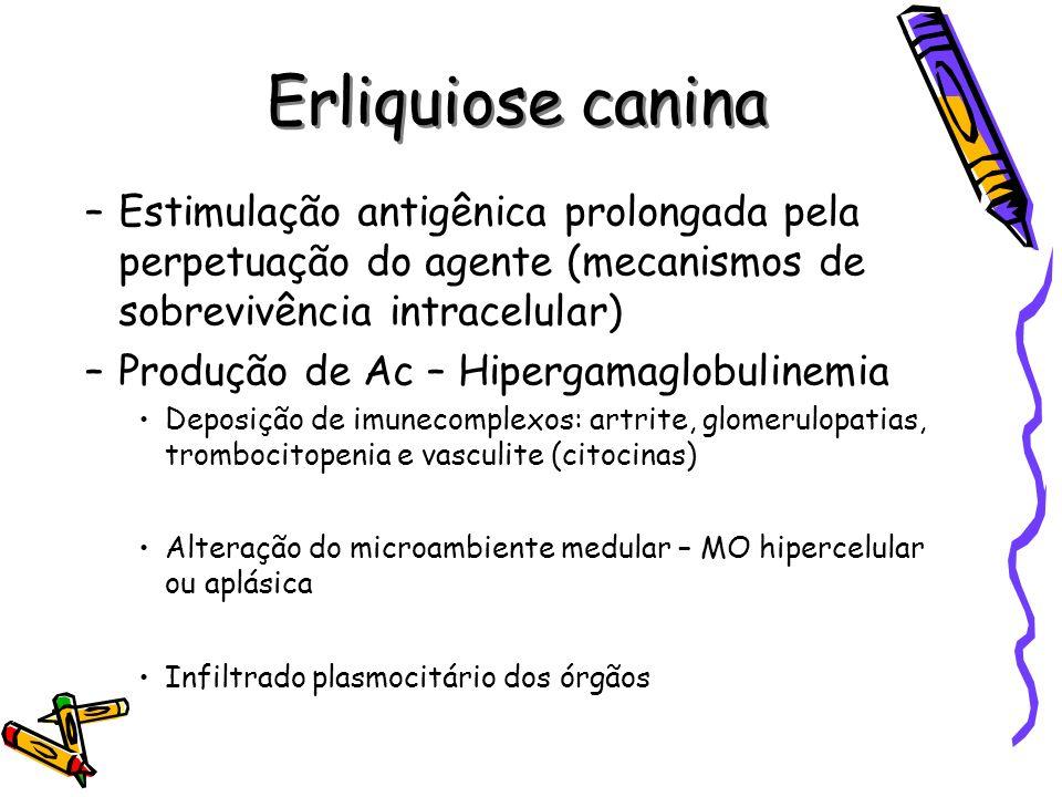 Erliquiose canina Estimulação antigênica prolongada pela perpetuação do agente (mecanismos de sobrevivência intracelular)