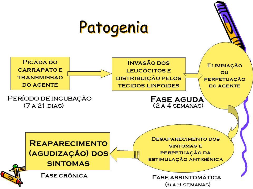 Patogenia Fase aguda Reaparecimento (agudização) dos sintomas