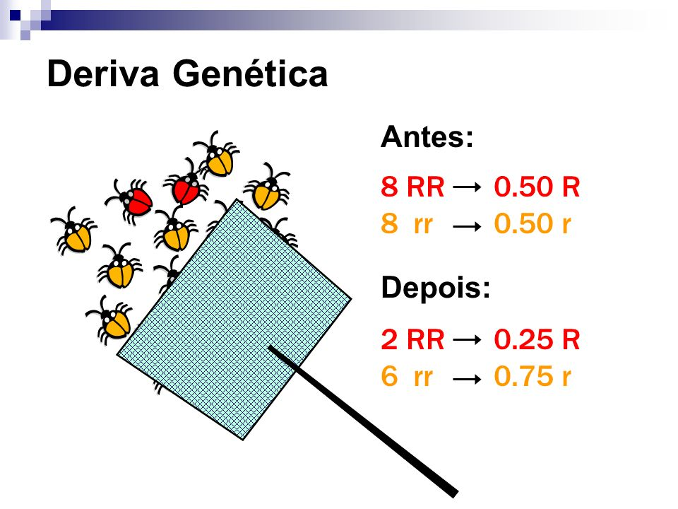 Deriva Genética Antes: 8 RR 8 rr 0.50 R 0.50 r Depois: 2 RR 6 rr
