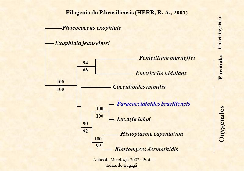 Filogenia do P.brasiliensis (HERR, R. A., 2001)