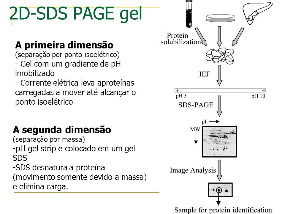 2D-SDS PAGE gel A primeira dimensão A segunda dimensão