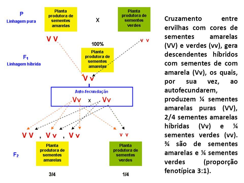 Cruzamento entre ervilhas com cores de sementes amarelas (VV) e verdes (vv), gera descendentes híbridos com sementes de com amarela (Vv), os quais, por sua vez, ao autofecundarem, produzem ¼ sementes amarelas puras (VV), 2/4 sementes amarelas híbridas (Vv) e ¼ sementes verdes (vv).