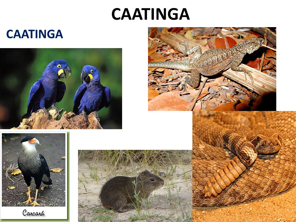 CAATINGA CAATINGA