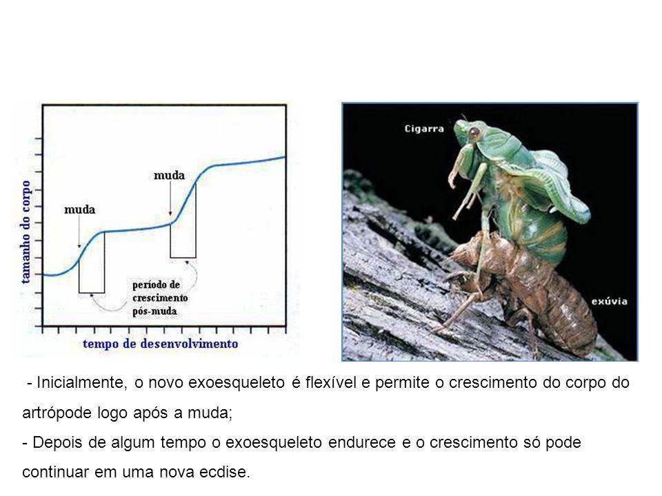 - Inicialmente, o novo exoesqueleto é flexível e permite o crescimento do corpo do artrópode logo após a muda;