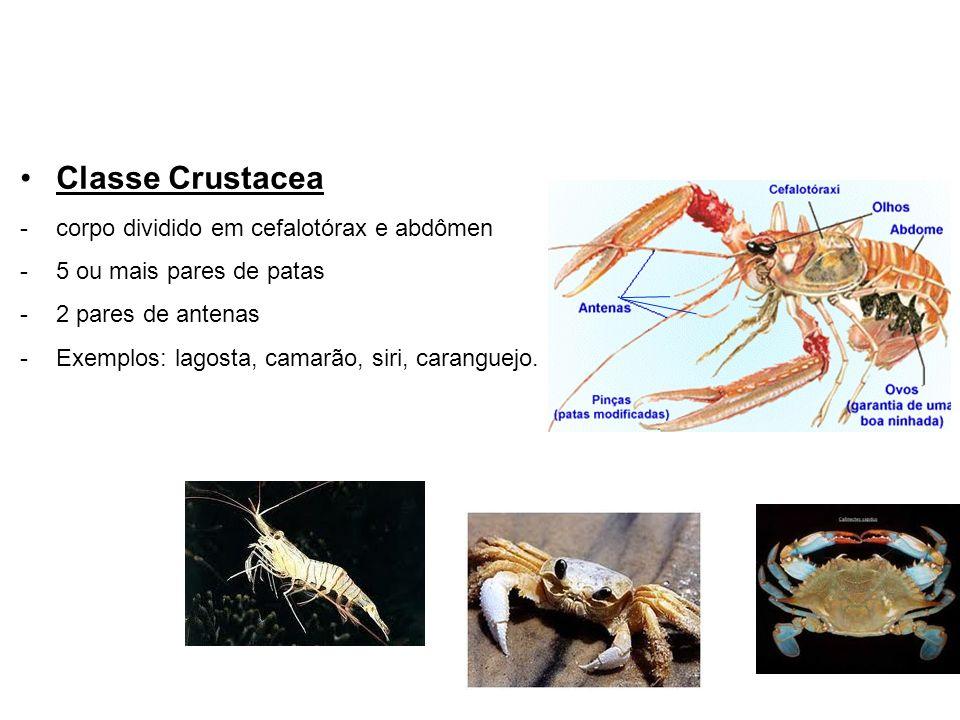 Classe Crustacea corpo dividido em cefalotórax e abdômen