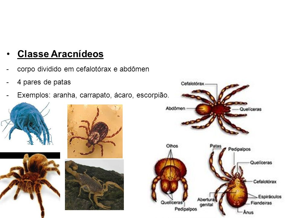 Classe Aracnídeos corpo dividido em cefalotórax e abdômen
