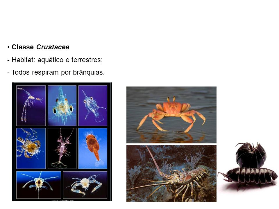 Classe Crustacea Habitat: aquático e terrestres; Todos respiram por brânquias.
