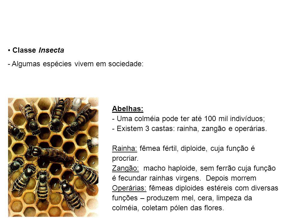 Classe Insecta Algumas espécies vivem em sociedade: Abelhas: Uma colméia pode ter até 100 mil indivíduos;