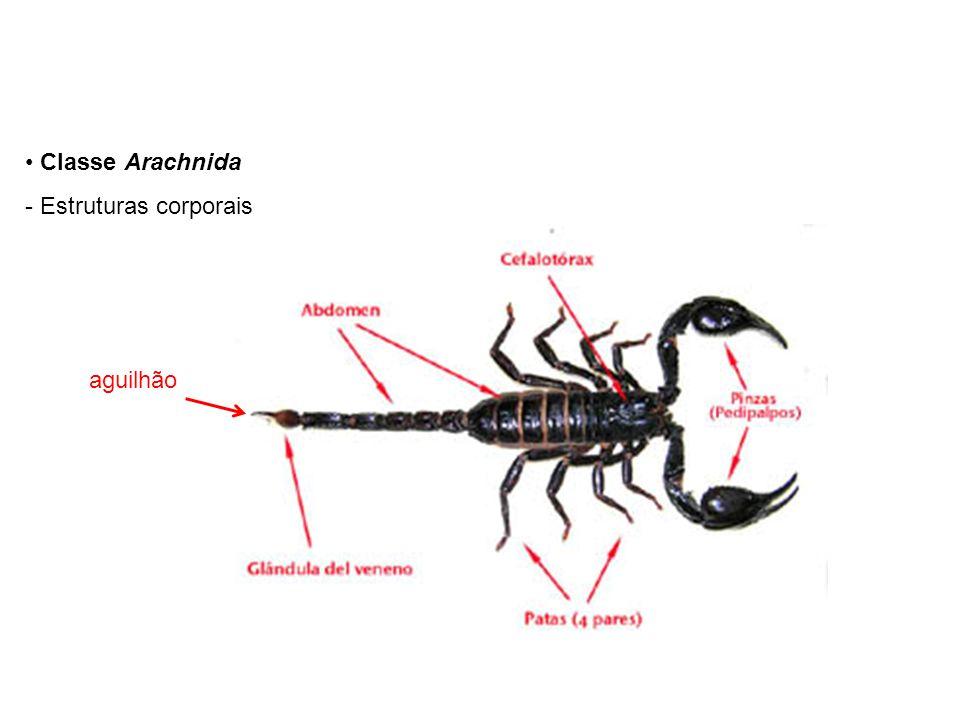Classe Arachnida Estruturas corporais aguilhão