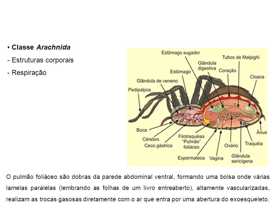 Classe Arachnida Estruturas corporais Respiração