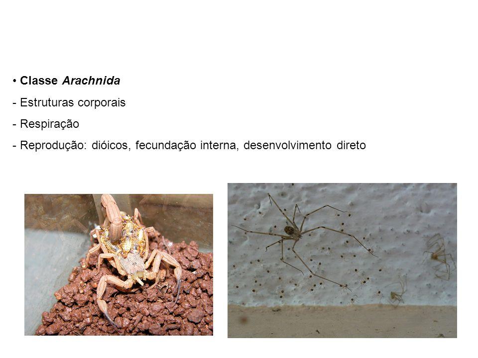 Classe Arachnida Estruturas corporais. Respiração.