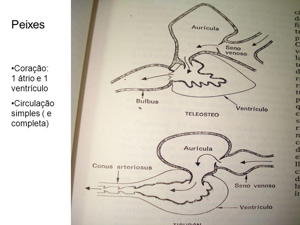 Peixes Coração: 1 átrio e 1 ventrículo