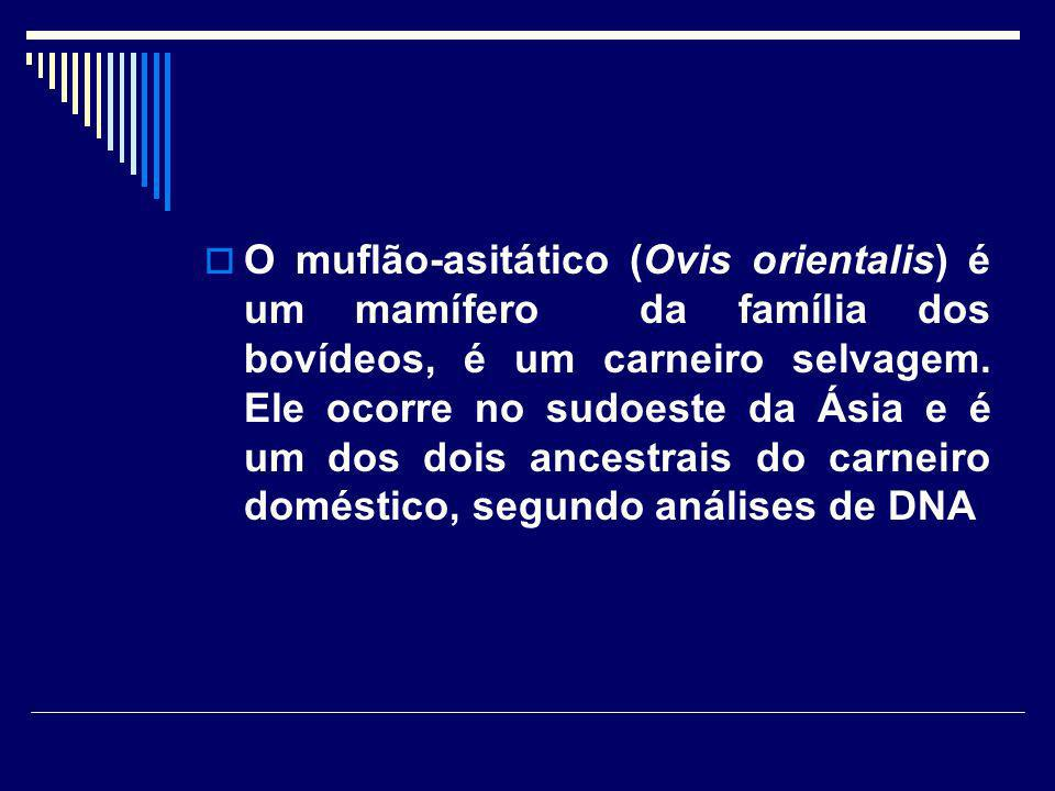 O muflão-asitático (Ovis orientalis) é um mamífero da família dos bovídeos, é um carneiro selvagem.