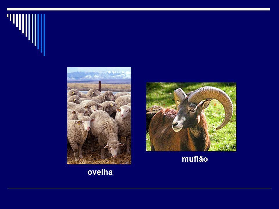 muflão ovelha