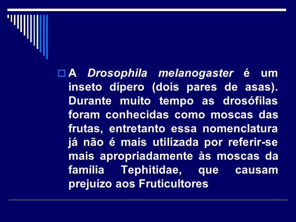 A Drosophila melanogaster é um inseto dípero (dois pares de asas)