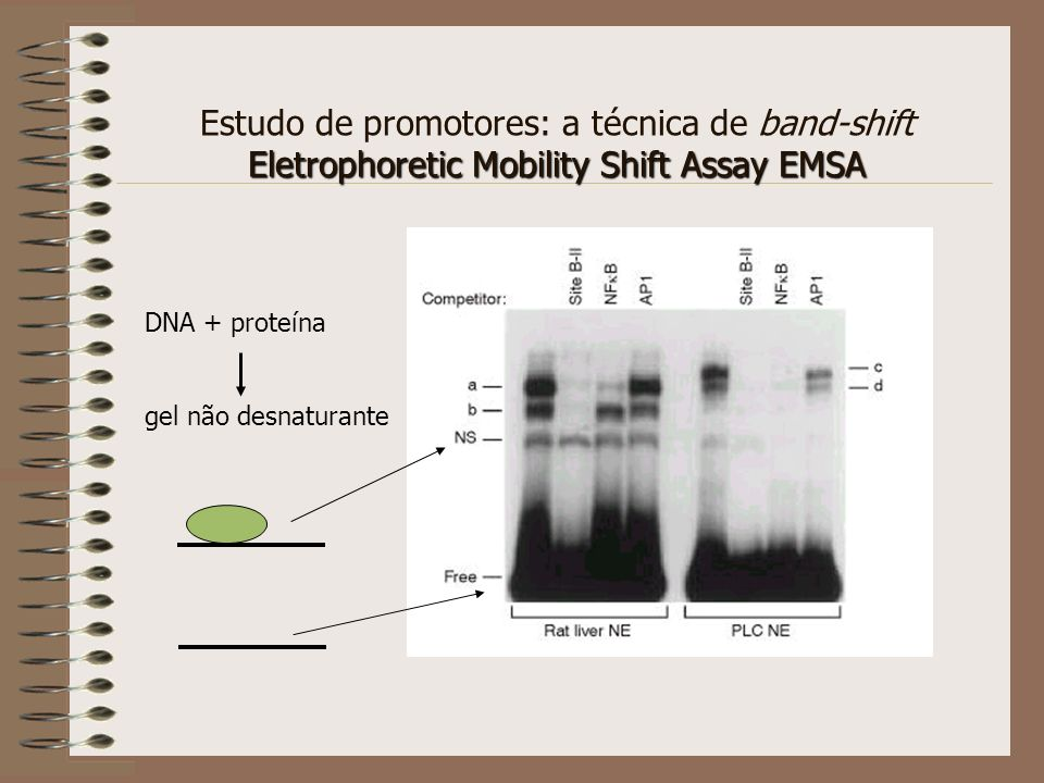 Estudo de promotores: a técnica de band-shift Eletrophoretic Mobility Shift Assay EMSA