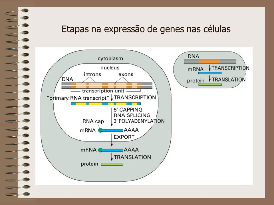 Etapas na expressão de genes nas células