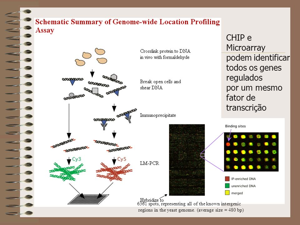 CHIP e Microarray podem identificar todos os genes regulados