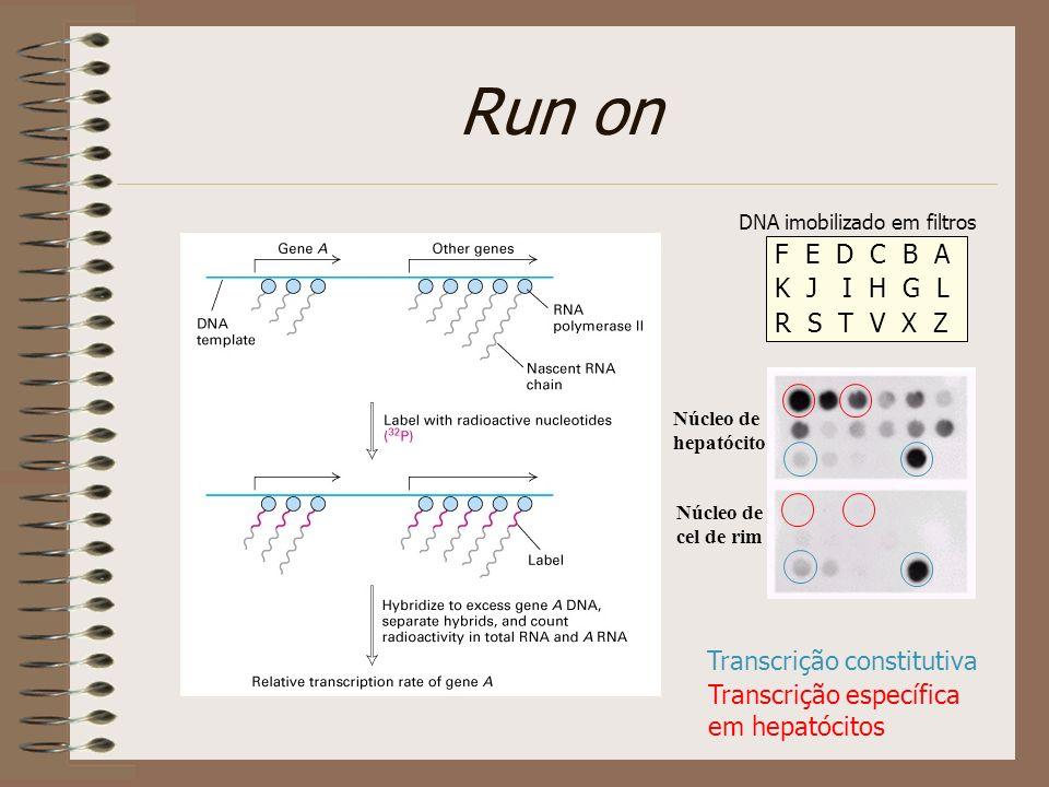 Run on F E D C B A K J I H G L R S T V X Z Transcrição constitutiva