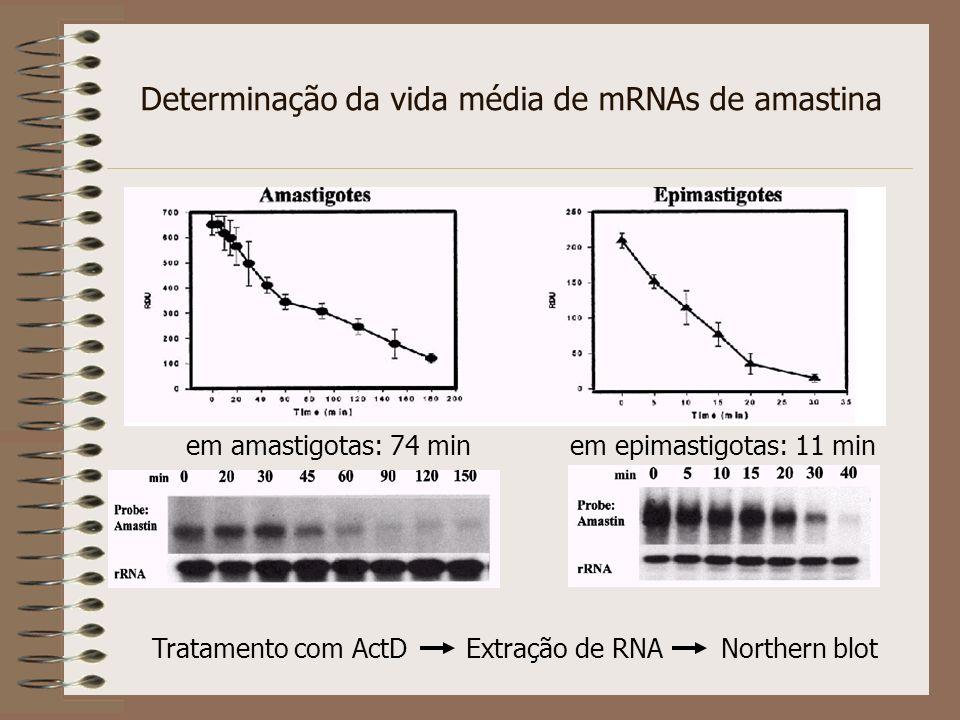 Determinação da vida média de mRNAs de amastina