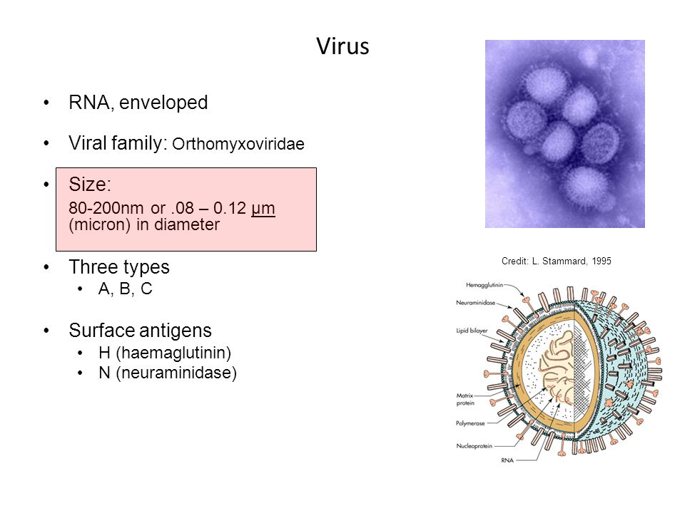 Virus RNA, enveloped Viral family: Orthomyxoviridae Size: