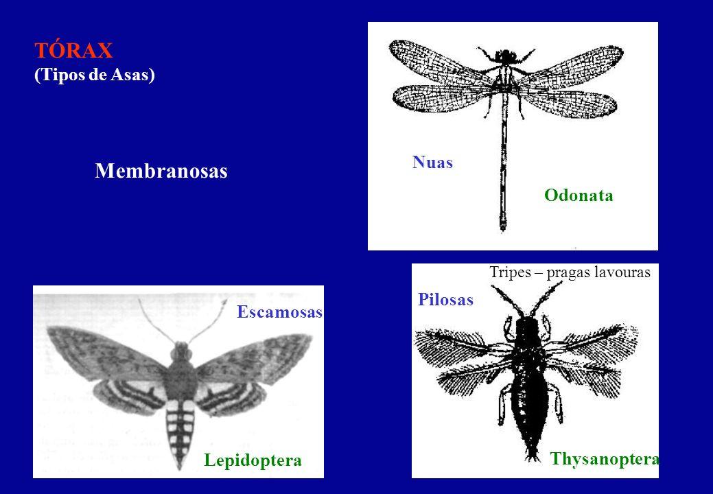 TÓRAX (Tipos de Asas) Membranosas Nuas Odonata Pilosas Escamosas