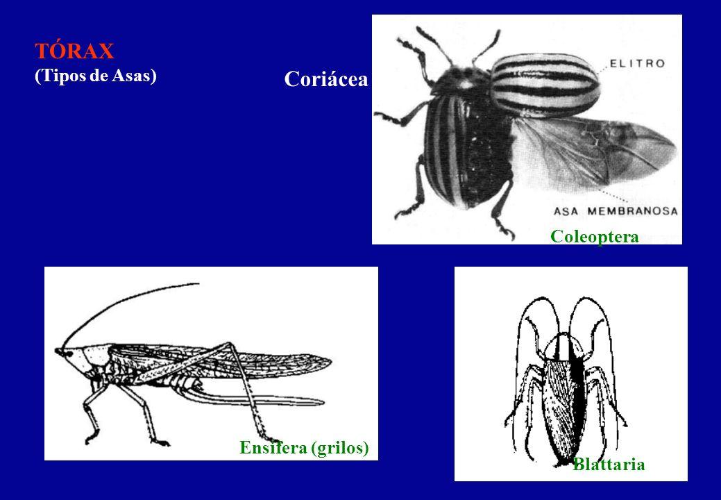 TÓRAX (Tipos de Asas) Coriácea Coleoptera Ensifera (grilos) Blattaria
