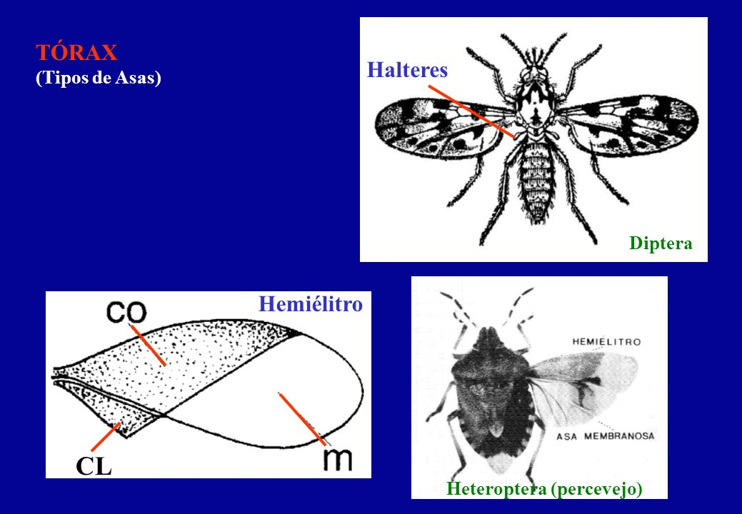 CL TÓRAX (Tipos de Asas) Halteres Hemiélitro Diptera