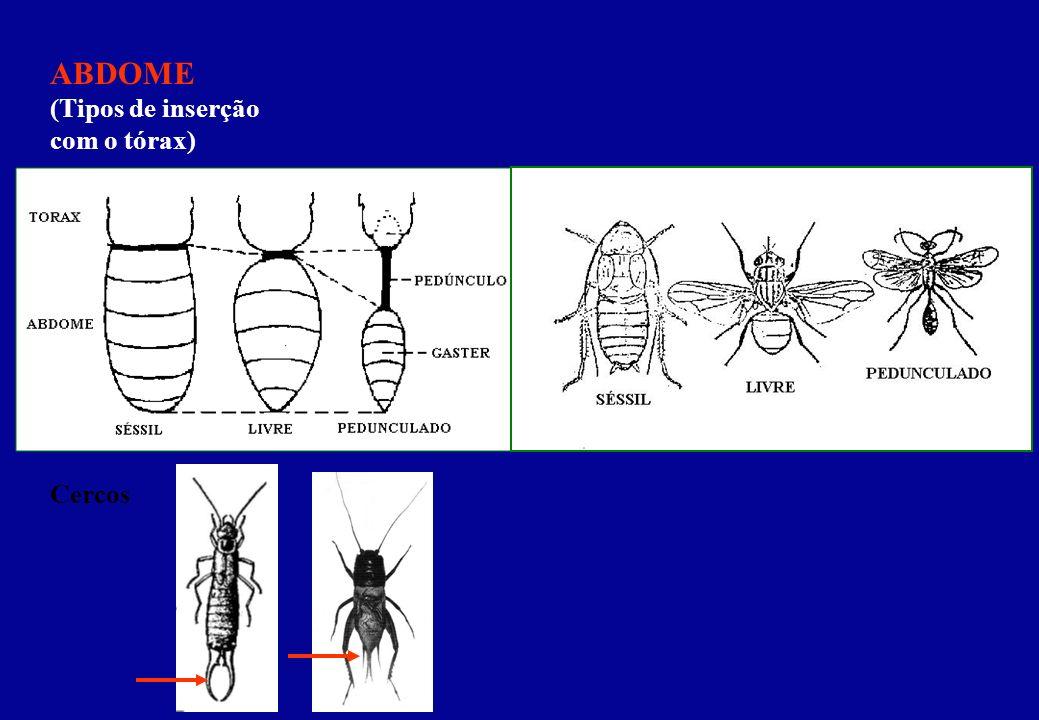 ABDOME (Tipos de inserção com o tórax)