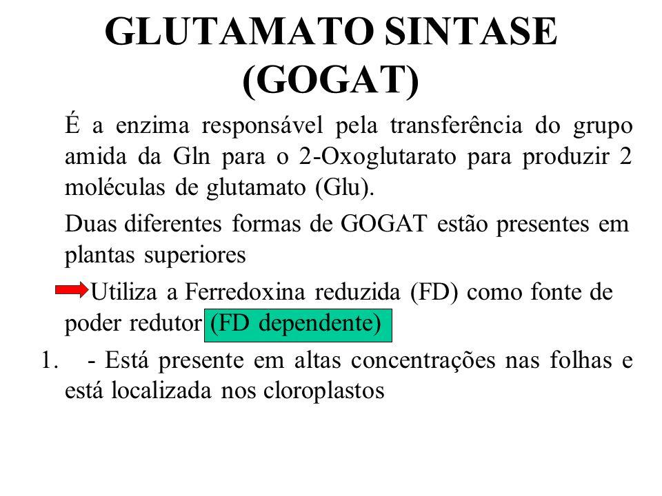 GLUTAMATO SINTASE (GOGAT)