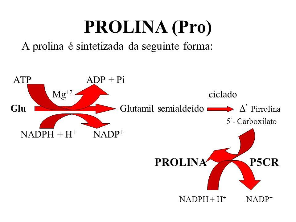 PROLINA (Pro) A prolina é sintetizada da seguinte forma: ATP ADP + Pi