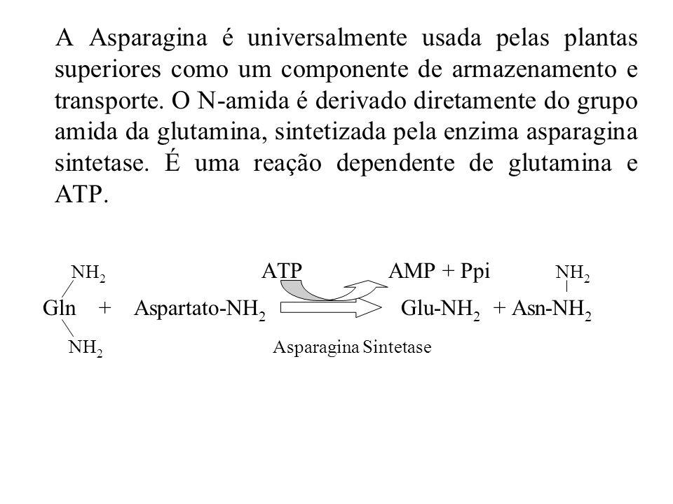 Gln + Aspartato-NH2 Glu-NH2 + Asn-NH2 NH2 Asparagina Sintetase