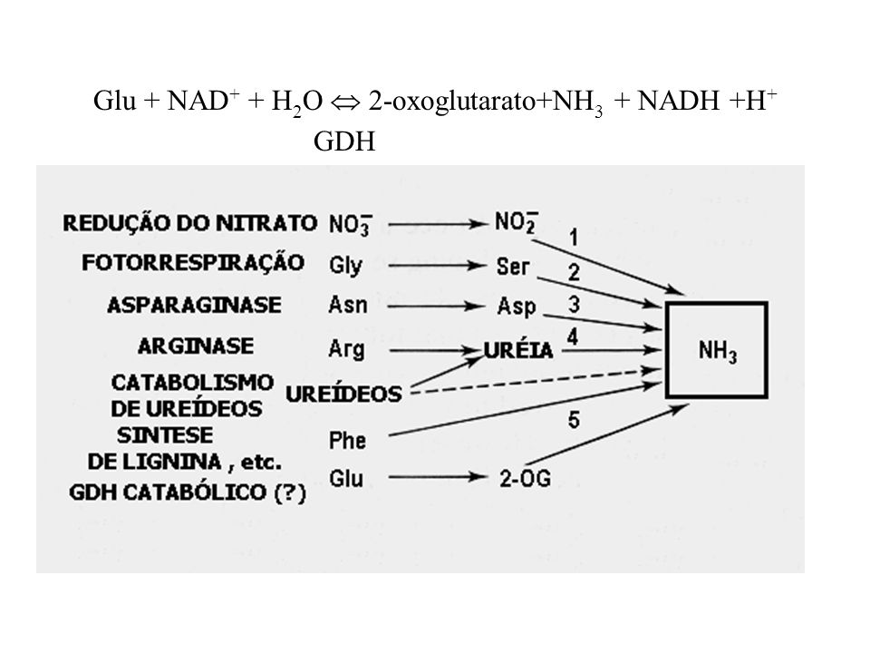 Glu + NAD+ + H2O  2-oxoglutarato+NH3 + NADH +H+
