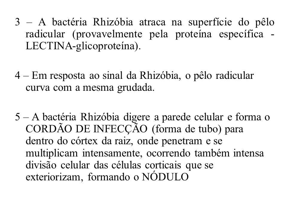 3 – A bactéria Rhizóbia atraca na superfície do pêlo radicular (provavelmente pela proteína específica - LECTINA-glicoproteína).